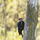 Pileated Woodpecker 2014-1 by Thomas Young