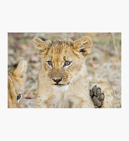 lion cub 2 Photographic Print