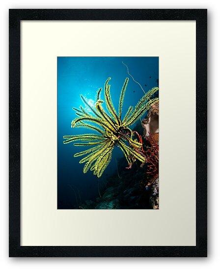 Feather star, Wakatobi National Park, Indonesia by Erik Schlogl