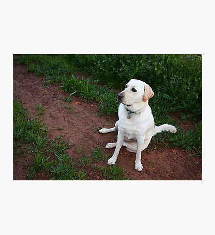 Labrador Dog Photographic Print