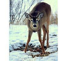 White Tailed Buck in Winter Photographic Print