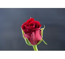 Red Rose side view Photographic Print