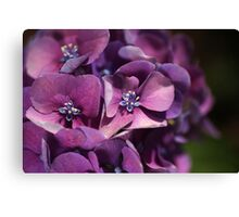 Passion For Hydrangeas  Canvas Print