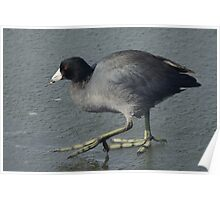 American Coot Bird on ice Poster