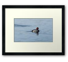 Redhead duck drake swimming in lake Framed Print