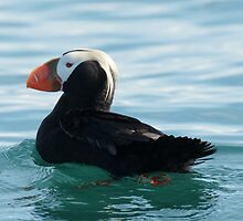 Tufted Puffin by akaurora