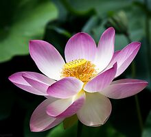 Lotus by sedge808