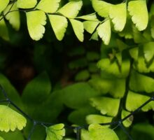 Maidenhair fern Sticker