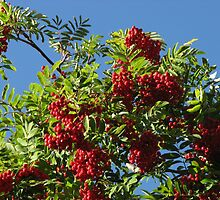 Red Rowan Berries against a Bright Blue Sky by kathrynsgallery