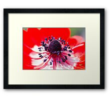anemone coronaria in the garden Framed Print