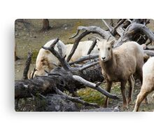 White Goats & A Dead Tree Canvas Print