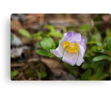 Spring's First Bloom Canvas Print
