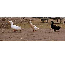 Ducks. Follow.  Photographic Print