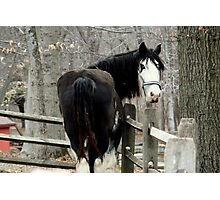 Clydesdale Horse Photographic Print