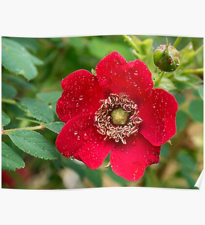 Raindrops on a Red Rose Poster