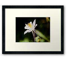 Colorado Columbine flower Framed Print