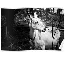 portrait of a goat Poster