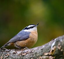 Red Breasted Nuthatch Bird by Christina Rollo