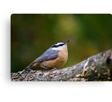 Nuthatch Bird Canvas Print