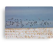 Flying Pigeons Canvas Print