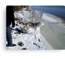 Husky Sibérien Metal Print