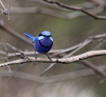 blue splendid fairy wren Sticker