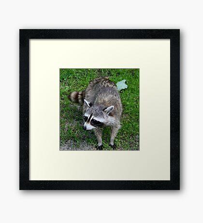 Raton laveur Framed Print