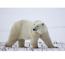 Polar Bear on the Tundra, Churchill, Canada Photographic Print