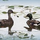 Mallard Duck Couple by mercale