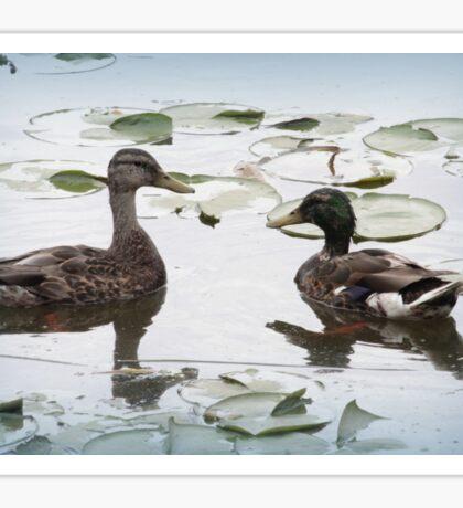 Mallard Duck Couple Sticker