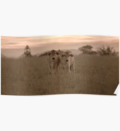 Outback Cows  Poster