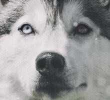 Siberian Husky in the snow Sticker