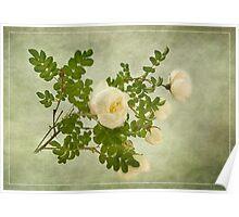 White Rose of Scotland  Poster