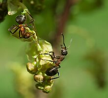 Ants  by Elfchen