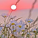 Sunrise and Daisies by John Butler