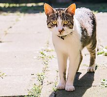 Tabby and White Cat In The Sun by PatiDesigns