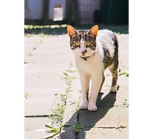 Tabby and White Cat In The Sun Photographic Print