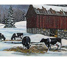 Cows in Snowy Barnyard, Original Painting, Farm Animals, No. 2 Photographic Print