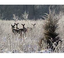 wary winter whitetails Photographic Print