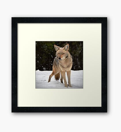 Coyote Surviving A Winter Snow Framed Print