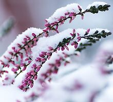 Winter Flowers by SunDwn
