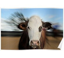 HEREFORD COW Poster