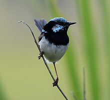 Fairy Wren by candysfamily