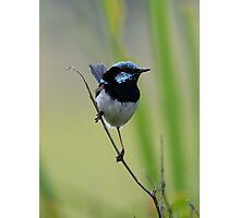 Fairy Wren Photographic Print