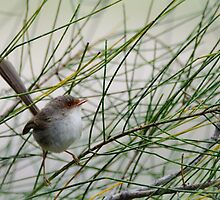 Baby Fairy Wren by candysfamily