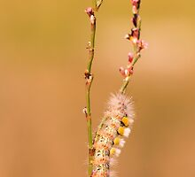caterpillar of a tussock moth  by PhotoStock-Isra