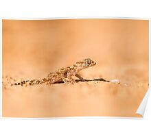 Short-fingered Gecko (Stenodactylus sthenodactylus) sometimes called dune gecko or dwarf gecko. T Poster