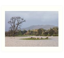 sheep in flooded field Art Print