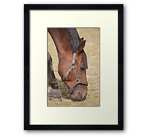 Close up of a Thoroughbred Horse Grazing Framed Print