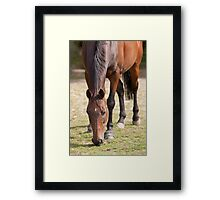 Thoroghbred Horse Grazing Framed Print